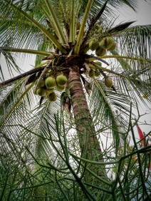 and of course a lot of coconut trees