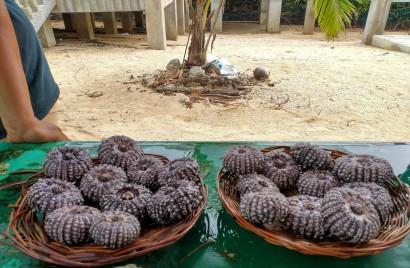 urchins?